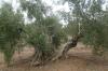 Picual Temprano Heraldo Noble, Botella 500ml. Aceite De Oliva Virgen Extra (jaén)
