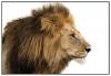 Panorama® Poster León 70x50cm   Impreso En Papel De Alta Calidad De 250gr   Poster De Animales   Cuadros De Animales Decorativos   Cuadros De Salón Modernos   Cuadros Decoración Dormitorio
