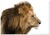 Panorama® Poster León 30x21cm | Impreso En Papel De Alta Calidad De 250gr | Poster De Animales | Cuadros De Animales Decorativos | Cuadros De Salón Modernos | Cuadros Decoración Dormitorio