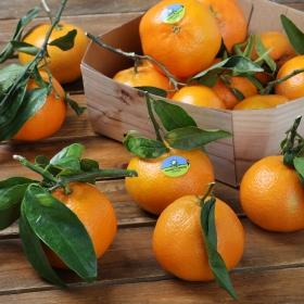 Clementina con hoja