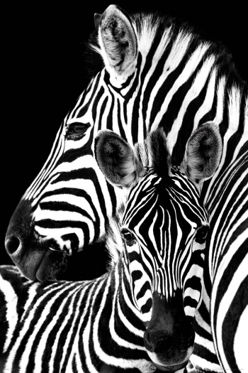 Maxi Poster Zebra Black And White