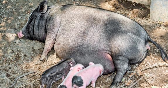 Ciclo de vida del cerdo